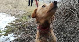 Zaniedbany, poraniony pies odebrany właścicielce