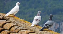 Apel do hodowców gołębi