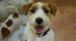Psie piękności na XL Krajowej Wystawie Psów Rasowych w Wielogórze [FOTO]