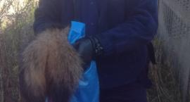 Dzielnicowi z Kozienic uratowali jenota, który utknął w płocie