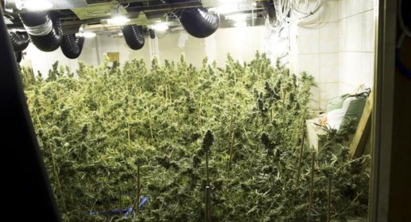 Kronika policyjna, Chińska plantacja marihuany Piasecznem - zdjęcie, fotografia