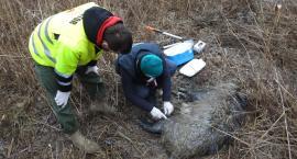 Fundacja Animal Rescue Polska walczy z ASF