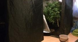 Zlikwidowana uprawa, zatrzymany hodowca konopi indyjskich