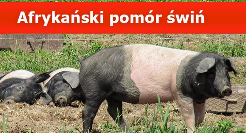 """zwierzęta, Uwaga """"dziki padłe"""" powiecie pruszkowskim (ASF) afrykański pomór świń - zdjęcie, fotografia"""