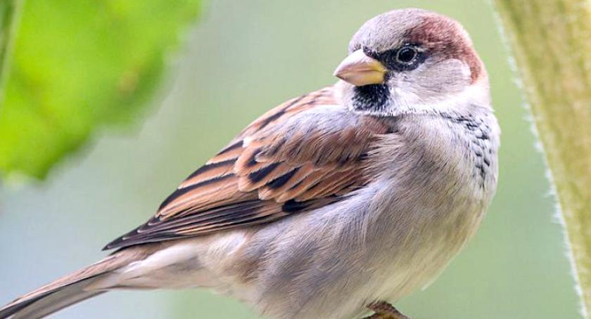 zwierzęta, Drastycznie zmniejsza liczebność wróbli alarmują ornitolodzy - zdjęcie, fotografia
