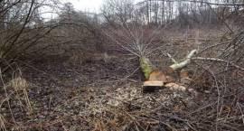 Wycinka drzew w Pruszkowie