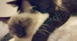 Zaginęła młoda 9-miesięczna kotka w Komorowie k/W-wy