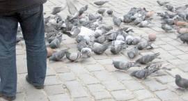 Gołębie odchody groźne dla zdrowia