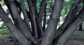 Pomnikowy Pszczeliniak
