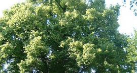 Al. Starych Lip w Komorowie - zabiegi pielęgnacyjne drzew
