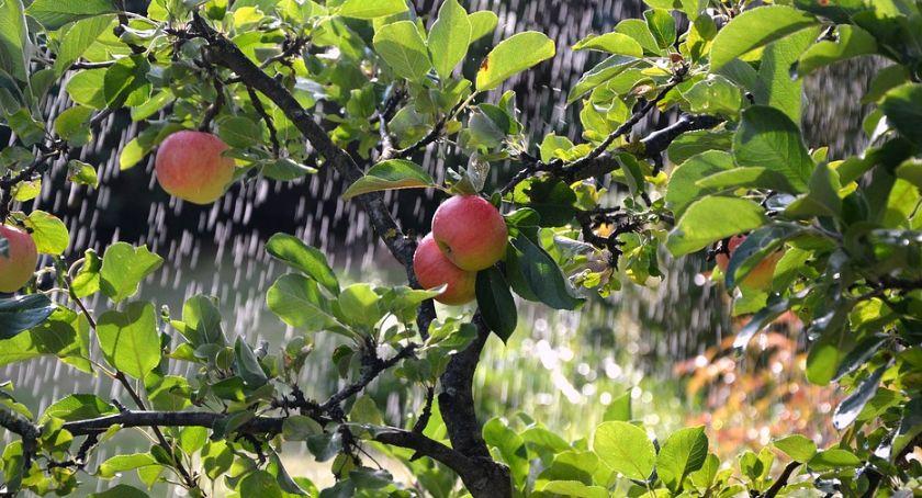 Wiadomości, Jabłka twojego dzieciństwa Biebrzański narodowy zachęca uprawy drzew owocowych - zdjęcie, fotografia
