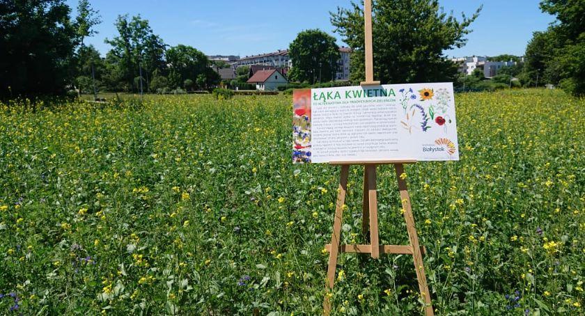 Wiadomości, Białymstoku pierwsze łąki kwietne Będą rzadko koszone mają służyć owadom - zdjęcie, fotografia