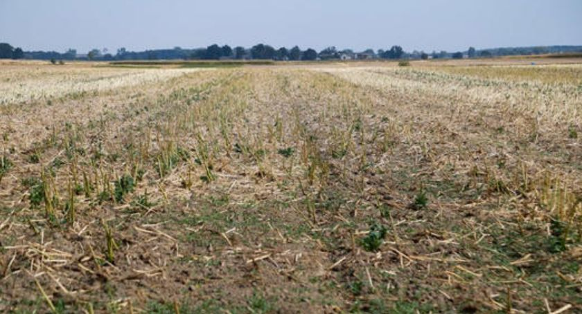 Gospodarka, Podlaskie rzepaku zagrożone suszą - zdjęcie, fotografia