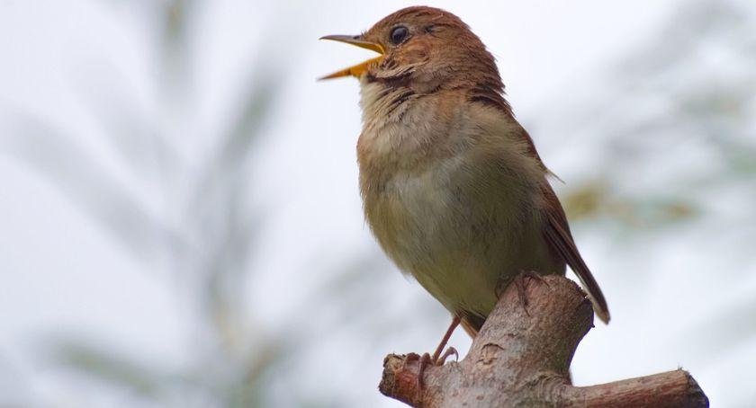 Wiadomości, Niektóre dzienne ptaki śpiewają - zdjęcie, fotografia