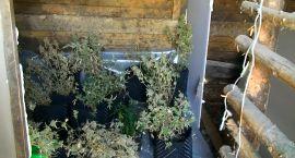 Plantacja marihuany została zlikwidowana
