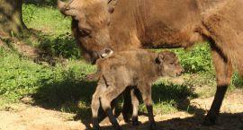 Urodził się maleńki żuberek w Kiermusach. Szukamy imienia!