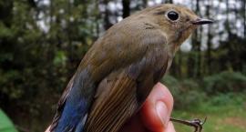 73 zaobrączkowane ptaki dziennie. Organizatorzy Akcji Siemianówka podsumowali sezon 2017