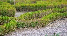 Mocno zaniedbane bukszpany w ogrodach Branickich