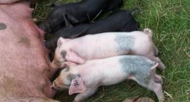 Hodowcy świń mogą już ubiegać się o rekompensaty