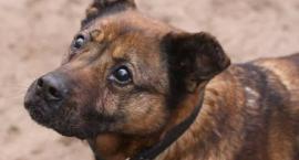 Psi pełnolatek potrzebuje domu w trybie natychmiastowym