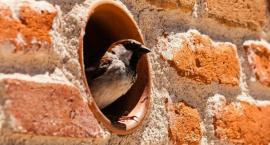 Zanim zaczniesz remont sprawdź czy w twoim domu gniazda nie ma jerzyk