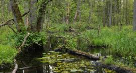 Eksperci twierdzą, że sztuczne zalesianie Puszczy Białowieskiej nie będzie dla niej dobre