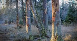 Leśnicy zadbają o bezpieczeństwo Puszczy Białowieskiej