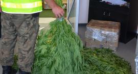 Straż Graniczna znalazła nielegalną plantację marihuany