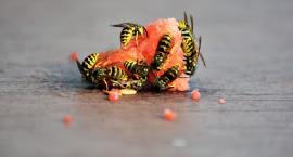 Żądlące owady są groźne dla zdrowia i życia