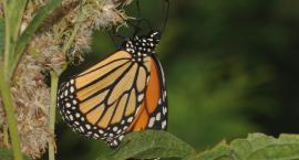 Motyle z Ameryki zaobserwowane w Białymstoku. Skąd się tu wzięły?