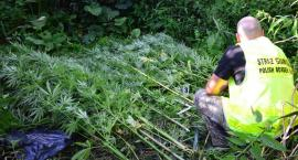 Plantacja marihuany wytropiona przez pograniczników