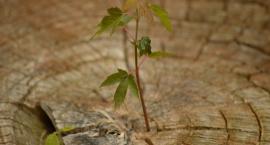 Magistrat rozda sadzonki białostoczanom. Trzy tysiące drzewek zamiast wyciętych 30 tysięcy?