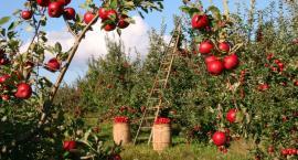 Jabłek w tym roku będzie pod dostatkiem. Szykują się obfite plony