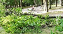 Przydałby się przegląd drzew w Białymstoku
