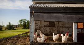W obronie zwierząt hodowlanych. Rusza akcja społeczna