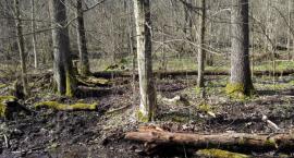 Puszcza Białowieska skrywała pradziejowy kurhan