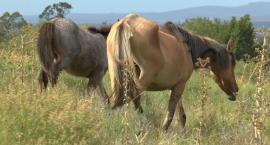 Organizacje pozarządowe chcą by Komisja Europejska zakazała sprowadzania koniny