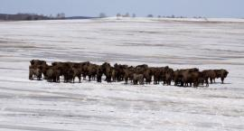 Śnieg i niska temperatura pomagają w liczeniu żubrów