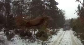 W okolicach Łomży żyją latające jelenie