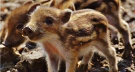 Dziki szybciej się mnożą, gdy mają lepszy dostęp do pokarmu