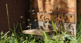 Pestycydy zagrożeniem dla pszczół, a bez pszczół nie ma nas