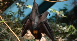 Zimujące nietoperze policzone zostały na Suwalszczyźnie
