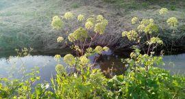 To nie Barszcz Sosnowskiego rośnie w Parku Antoniuk