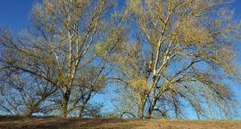 Alergicy nie mają łatwo. W tym roku wcześniej pylą drzewa
