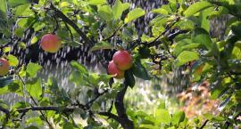 Jabłka twojego dzieciństwa. Biebrzański Park narodowy zachęca do uprawy drzew owocowych
