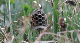 Na łąkach osy zaczęły budować klecanki