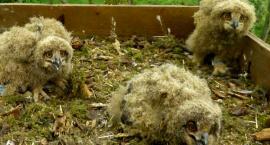 Trzy małe puchacze pojawiły się w gnieździe przygotowanym przez leśników