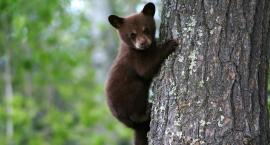 Niedźwiedzie zniknęły z Puszczy Białowieskiej 140 lat temu. Mają szansę wrócić