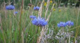 Łąki i pola przyozdobione na niebiesko
