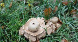 UFO-grzyb obecny na podlaskiej ziemi